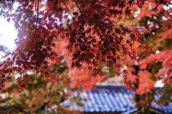 坂本の通りにある紅葉