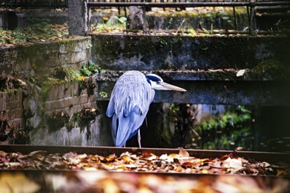 琵琶湖疎水にいた青鷺